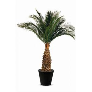 Palmier Stabilisé