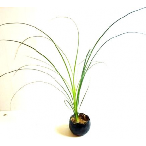 Suspension Color Black Beaucarnea